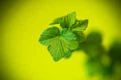 Branch of black currant with young leaves Royalty Free Stock Photography