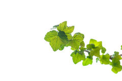 Branch of black currant with young leaves Royalty Free Stock Image