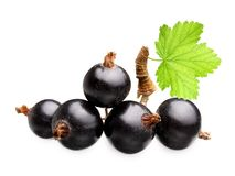 Branch black currants berry Royalty Free Stock Photos