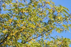 Branch of black locust tree under blue sky, background. Robinia pseudoacacia Royalty Free Stock Photo