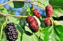 Branch of black mulberry Stock Photo