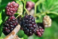 Branch of black mulberry Royalty Free Stock Images