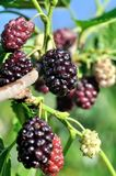 Branch of black mulberry. Close-up of the ripening black mulberry on tree, vertical composition royalty free stock photos