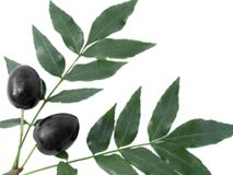 Branch with black olives Royalty Free Stock Photos