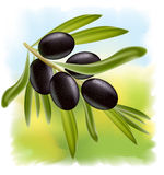 A branch of black olives. Stock Image