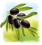 A branch of black olives. Illustration on fullcolor background Stock Illustration
