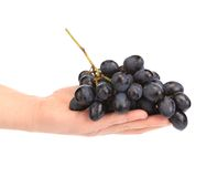 Branch of black ripe grapes on hand. Royalty Free Stock Photos