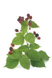 Branch with blackberries Royalty Free Stock Image