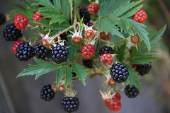 Branch with blackberries at harvest time Stock Photography