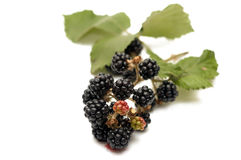 Branch of blackberry Stock Photos