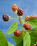 The branch of blackberry. On a blue background Royalty Free Stock Image