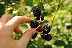 Branch of blackberry. Man's arm taking a berry from growing branch of ripe blackberry royalty free stock photos