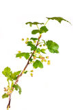 Branch of blackberry Stock Photo