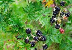 Branch with blackberry fruits. Blackberry fruits in home garden Royalty Free Stock Photos