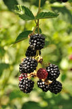 Branch of blackberry Stock Image