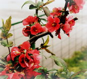 Blossom. Pink blossom on the  tree branch in the garden Royalty Free Stock Photos