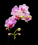 Branch bloom orchids on a black background Royalty Free Stock Photo