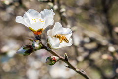 Branch of blooming almond tree Stock Photo