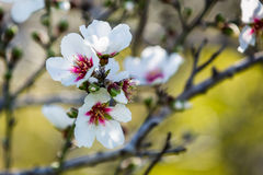 Branch of blooming almond tree Royalty Free Stock Photo