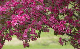 Branch of Blooming Apple Tree 02 royalty free stock photo