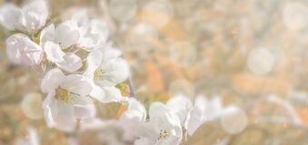 Branch of a blooming Apple tree, light floral background. tinted photo, defocus