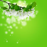 A branch of blooming apple tree over abstract spring background. In light green color with bokeh effect Royalty Free Stock Image