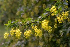 Branch of a blooming barberry. Yellow flowers on a twig macro. Closeup, selective focus royalty free stock images
