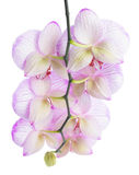 Branch of blooming beautiful stripped lilac orchid flower. Phalaenopsis back turned to camera is isolated on white background Stock Photo