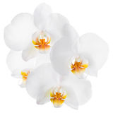 Branch of blooming beautiful white with yellow orchid flower Royalty Free Stock Photos