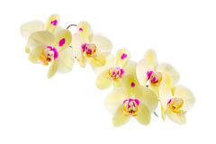 Branch of blooming beautiful yellow with purple spots orchid flo Stock Photos