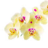 Branch of blooming beautiful yellow with purple spots orchid flo Royalty Free Stock Images