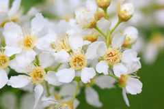 Branch of a blooming bird cherry. Royalty Free Stock Image