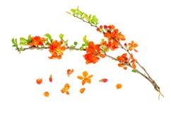 Branch of blooming Chaenomeles. Studio Photo stock photo