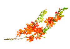 Branch of blooming Chaenomeles. Studio Photo royalty free stock images