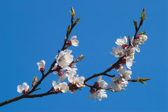 Branch of blooming cherry over. Clear blue sky Stock Photo