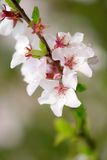 Branch of the blooming cherry tree. Delicate flowers of the blooming cherry tree Stock Photos