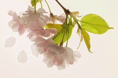 Branch of blooming cherry tree Royalty Free Stock Photos