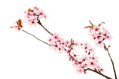 Branch of blooming cherry tree, sakura isolated on white background stock photo