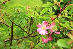 Branch of blooming dog rose flowers royalty free stock photo