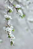 Branch of blooming fruit tree Royalty Free Stock Image
