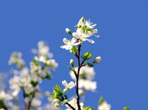 Branch of a blooming fruit tree with white flowers Royalty Free Stock Photo