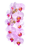 Branch of blooming gentle pink orchid flower, phalaenopsis Stock Photos