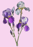 Branch of blooming irises Stock Photo