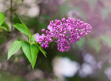 Branch of blooming lilac. First flower bloomed. Shallow depth of field Royalty Free Stock Photos
