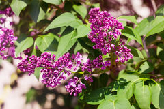 Branch of blooming lilac Stock Photography