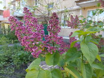 The branch of blooming lilacs among green leaves.  Royalty Free Stock Images