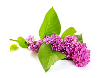 The branch of blooming lilacs Stock Images