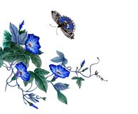 Branch of blooming morning glory. Watercolor illustration with a beautiful branch of blooming morning glory, convolvulus. Blue Ipomoea flowers, butterfly are fly vector illustration