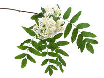 Branch of blooming mountain-ash isolated on white. Background Stock Image