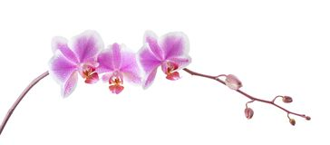 Branch of a blooming orchid. On a white background Royalty Free Stock Images